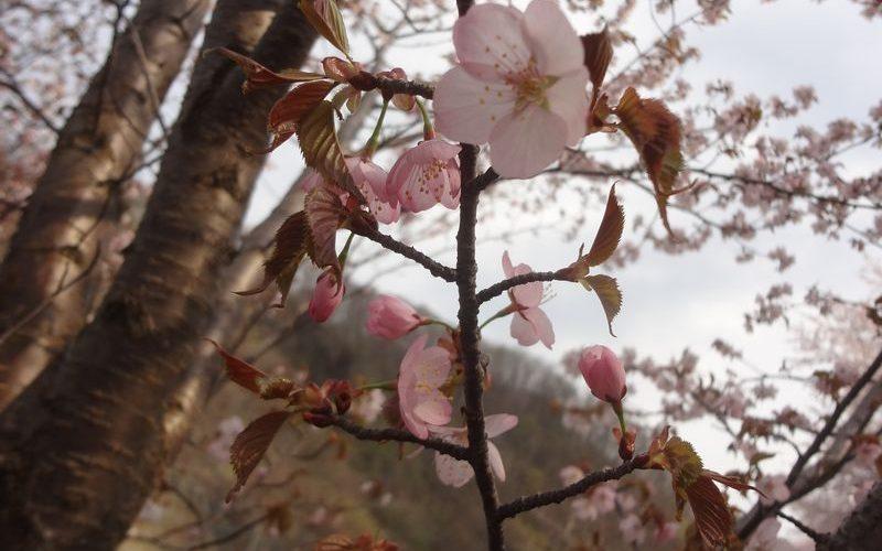 桜が満開でした。